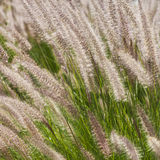 Fluffy grass Stock Photos