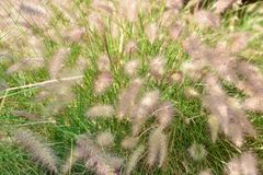 Fluffy grass on the meadow Stock Image