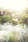 Fluffy grass on the sun. Fluffy grass in the summer sun royalty free stock image