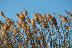 Fluffy grassy reeds Stock Photography