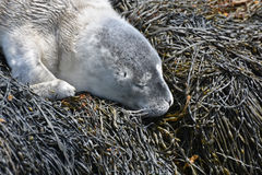 Fluffy Gray Baby Seal Pup in Casco Bay Maine. Adorable gray baby seal pup sleeping in Maine Stock Photos