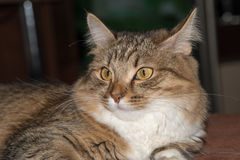 Fluffy gray beautiful  kitten. Cat, resting cat on a sofa in colorful blur background, cute funny cat close up, young playful cat on a bed, domestic cat Stock Photos