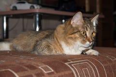 Fluffy gray beautiful  kitten Stock Photo