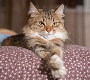 Fluffy gray beautiful  kitten. Cat, resting cat on a sofa in colorful blur background, cute funny cat close up, young playful cat on a bed, domestic cat Stock Photography