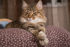 Fluffy gray beautiful  kitten. Cat, resting cat on a sofa in colorful blur background, cute funny cat close up, young playful cat on a bed, domestic cat Stock Images