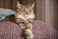 Fluffy gray beautiful  kitten. Cat, resting cat on a sofa in colorful blur background, cute funny cat close up, young playful cat on a bed, domestic cat Stock Photo