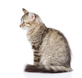 Fluffy gray beautiful kitten. isolated on white background Royalty Free Stock Photos