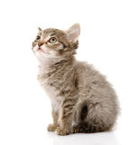 Fluffy gray beautiful kitten look up.  on white ba Stock Photography