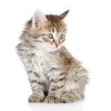 Fluffy gray beautiful kitten looking away. Stock Photos