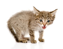Fluffy gray beautiful kitten looking at camera. is Royalty Free Stock Photos