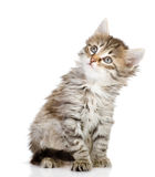 Fluffy gray beautiful kitten looking up. Stock Photo
