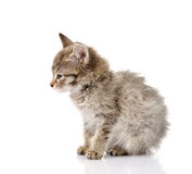 Fluffy gray beautiful kitten in profile.  on white Stock Image