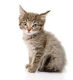 Fluffy gray beautiful kitten.  on white background Royalty Free Stock Photo