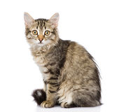 Fluffy gray beautiful kitten.  on white background Stock Images
