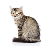 Fluffy gray beautiful kitten.  on white background Stock Photo