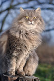 Fluffy gray cat. Posing on the lawn Stock Photography