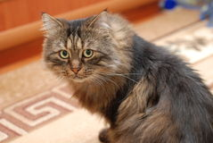Fluffy gray cat Stock Photography
