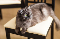 Fluffy gray cat Royalty Free Stock Photography