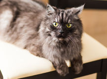 Fluffy gray cat Royalty Free Stock Images