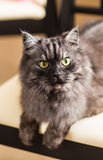 Fluffy gray cat Royalty Free Stock Photo