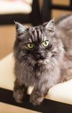 Fluffy gray cat Royalty Free Stock Photo