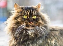 Fluffy gray cat. Stock Photos