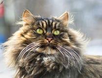 Fluffy gray cat. Stock Image
