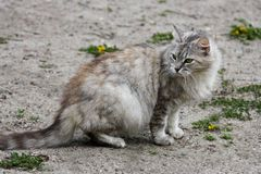 Gray cat on the road. Stock Photography