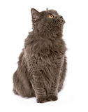 Fluffy Gray Cat Looking to Side Stock Images