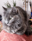 Fluffy gray cat resting indoors Royalty Free Stock Photos