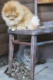 Fluffy gray cat Royalty Free Stock Photos