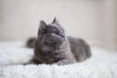 Fluffy gray cat sitting on the couch Stock Photos