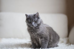 Fluffy gray cat sitting on the couch Stock Images