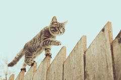 Fluffy gray cat walking on a old wooden fence. Tabby cat walking on the fence in the village Royalty Free Stock Images