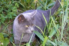 Fluffy gray home cat with yellow eyes walking in the grass. Look stock photos