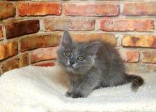 Fluffy gray kitten in bed stock images