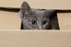 Fluffy gray kitten with big eyes Royalty Free Stock Photos