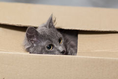 Fluffy gray kitten with big eyes Royalty Free Stock Images
