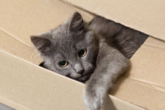 Fluffy gray kitten with big eyes Royalty Free Stock Photography