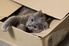 Fluffy gray kitten with big eyes Royalty Free Stock Image