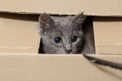 Fluffy gray kitten with big eyes Royalty Free Stock Photo