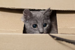 Fluffy gray kitten with big eyes Stock Images