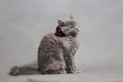 Fluffy gray kitten with decoration Royalty Free Stock Photography