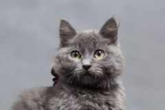 Fluffy gray kitten with decoration Royalty Free Stock Photos