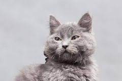 Fluffy gray kitten with decoration Stock Photos
