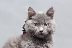 Fluffy gray kitten with decoration Stock Image