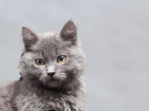 Fluffy gray kitten with decoration Royalty Free Stock Image