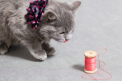 Fluffy gray kitten with decoration licked Stock Images