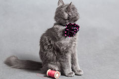 Fluffy gray kitten with decoration looks back Stock Photos