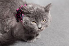 Fluffy gray kitten with decoration looks up angrily Stock Photography